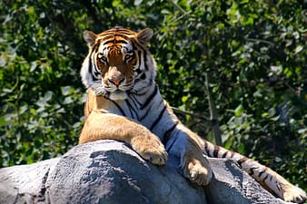 Brown, white, and black tiger on grey rock during daytime