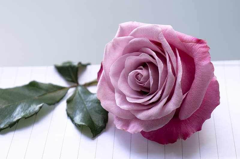 Pink rose on white paper