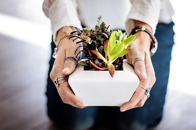 Person holding a white ceramic flower pot with succulents