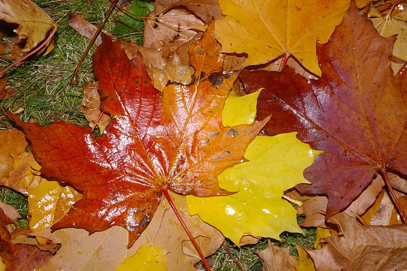 Red maple leaf on green grass