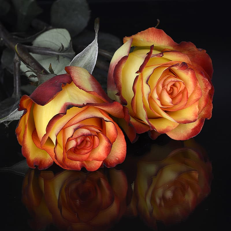 Close-up photography of red-and-yellow rose flowers