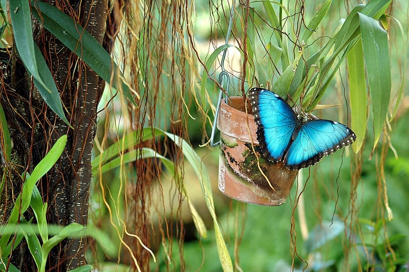 Blue butterfly on plant pot