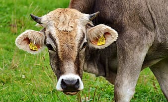 Brown cow on grass