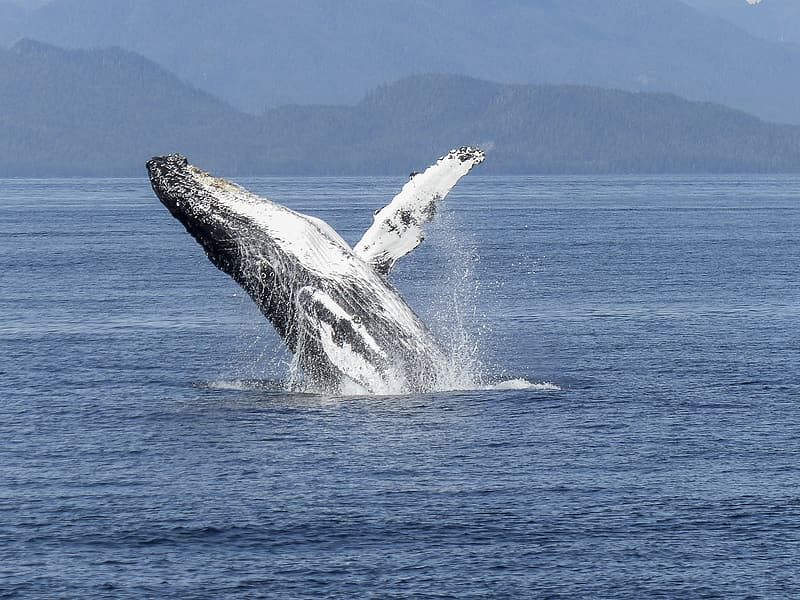 Gray whale on body of water at daytime