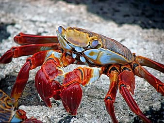 Red and white crab