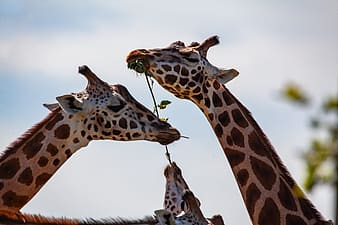 Brown and black giraffe eating brown grass during daytime