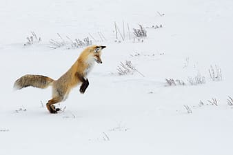 Brown and white fox on snow covered ground during daytime