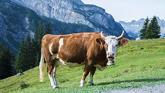 Brown and white cattle on green hill at daytime