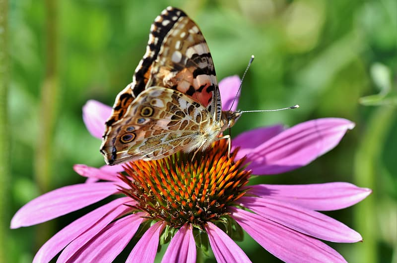 Brown white and black butterfly on purple flower during daytime