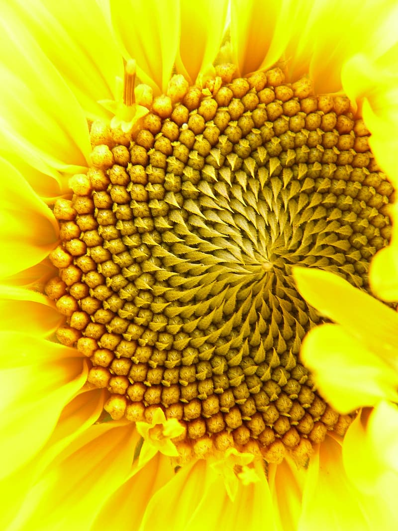 Yellow sunflower close-up photography