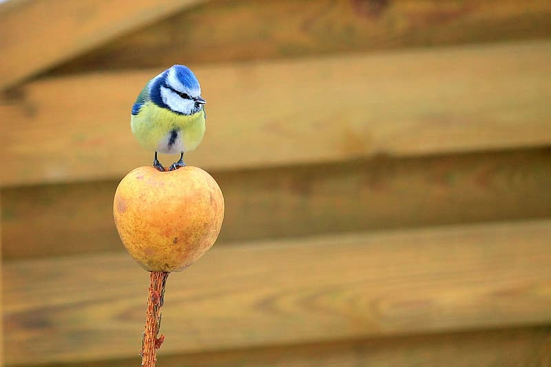 Blue and yellow bird perching on fruit