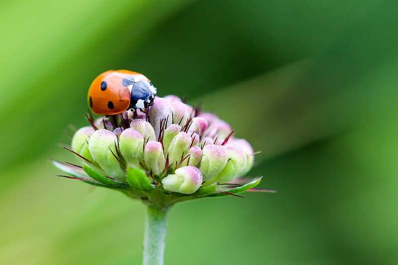 Orange ladybug perching on pink flower in selective focus photography