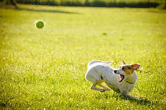 White and tan Jack Russell Terrier playing tennis ball on grass field at day time