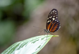 Black orange and white butterfly on green leaf