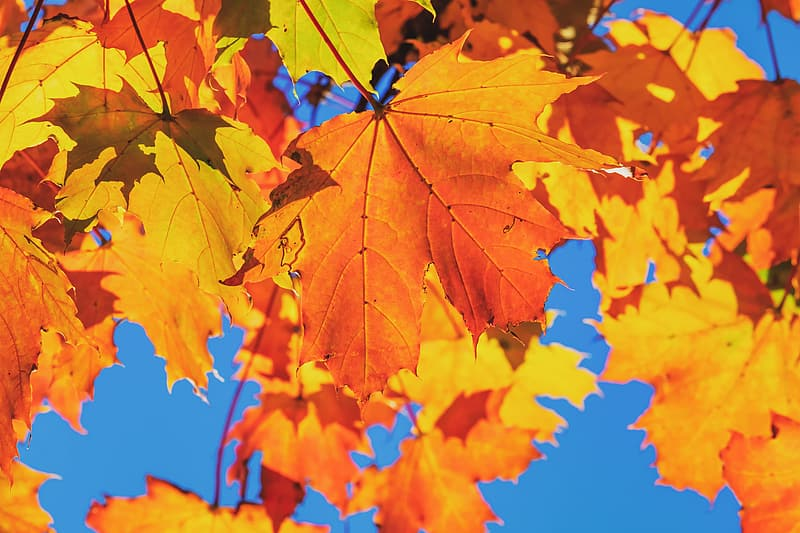 Brown maple leaves under blue sky during daytime
