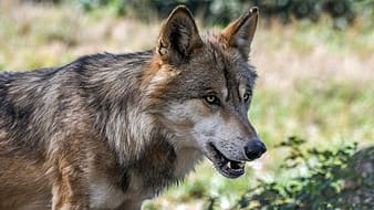 Brown wolf on forest at daytime