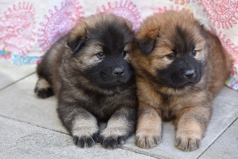 Brown and black short coated puppy
