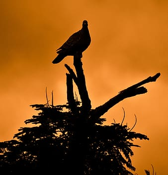 Silhouette of dove perched on twig