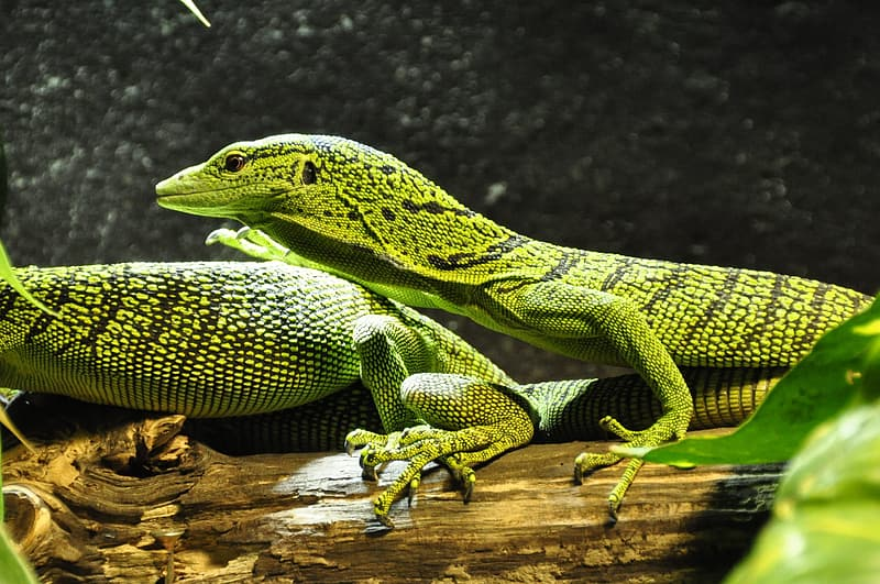 Two green-and- black geckos