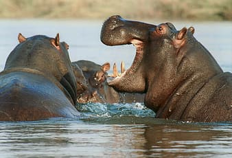 Close up photo of three black hippopotamus