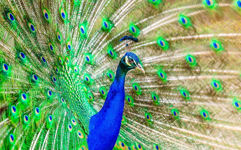 Photo blue and green peacock