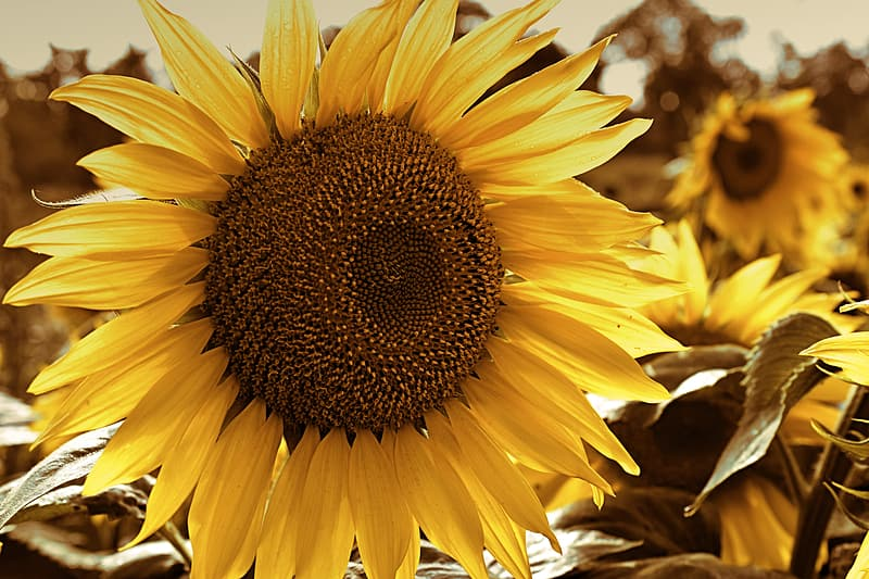 Yellow sunflower in close up photography