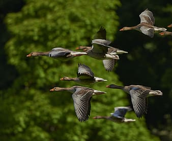 Flock of mallard ducks flying near green tree