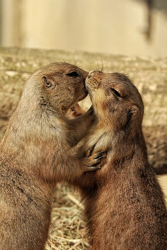 Closeup photo of brown rodent kissing