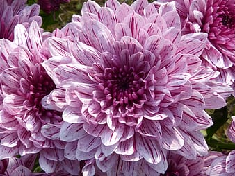 Pink dahlias closeup photo