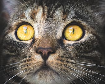 Focus photography of brown tabby cat