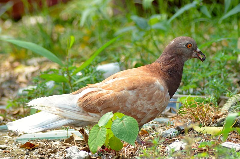 Brown and white Pigeons