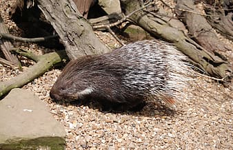Brown and white hedgehog on pebbles