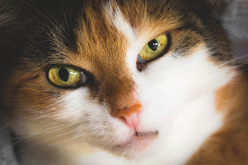 White and brown cat with yellow eyes