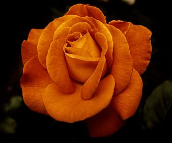 Close-up photography of orange rose in bloom