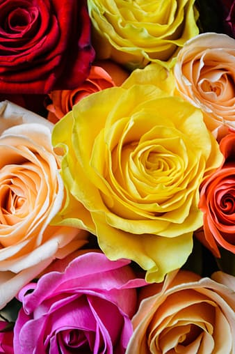 Yellow and pink rose flower