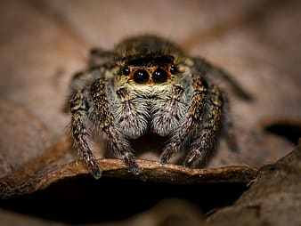 Macro photography of jumping spider perched on brown leaf