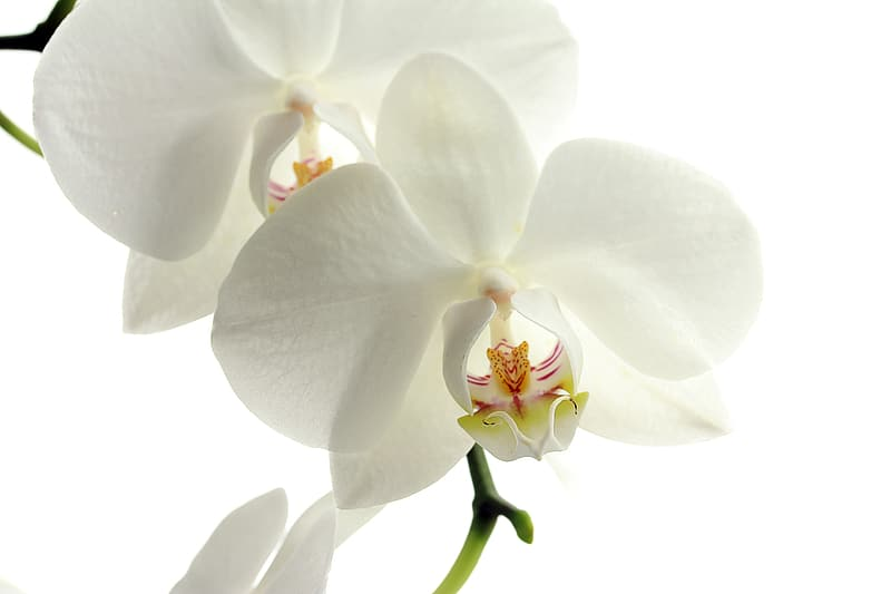 Shallow focus photography of white orchids flower