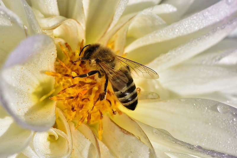 Honeybee perched on white flower in close up photography during daytime