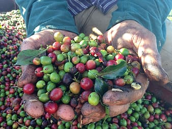 Close-up of round green and red fruits on person's hands