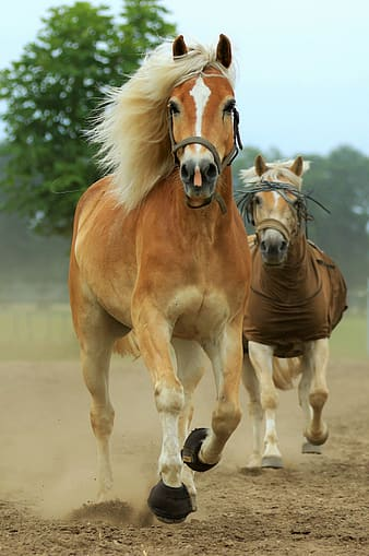 Two brown horses running on ground