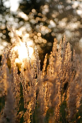 Close up photograph of wheat