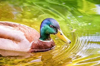 Brown and green duck