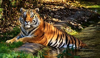 View of orange tiger on body of water