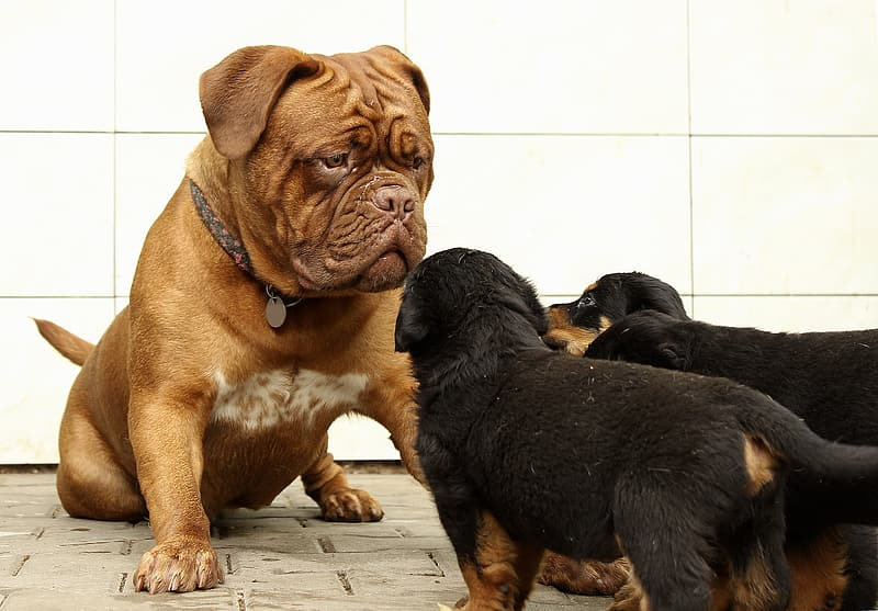 Short-coated dog in front of Rottweiler puppies