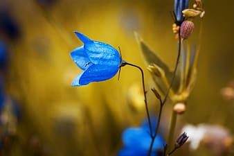 Blue campanula flower in selective focus photography