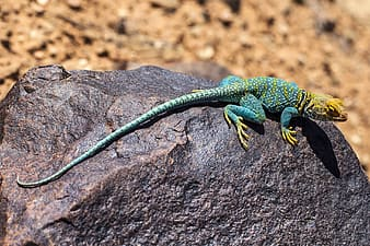 Teal and brown lizard on rock