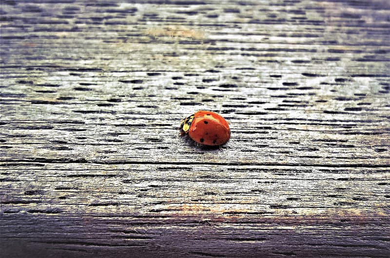 Red ladybug on grey wooden surface