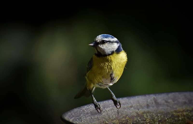 Yellow blue and black bird on brown tree branch