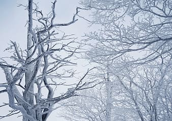 Whithered trees during winter season