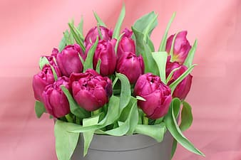 Pink tulips in white bucket